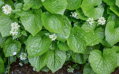 The Best Way to Grow Wasabi at Home