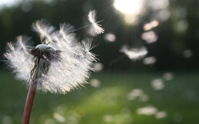 The Best Ways to Get Rid of Dandelions