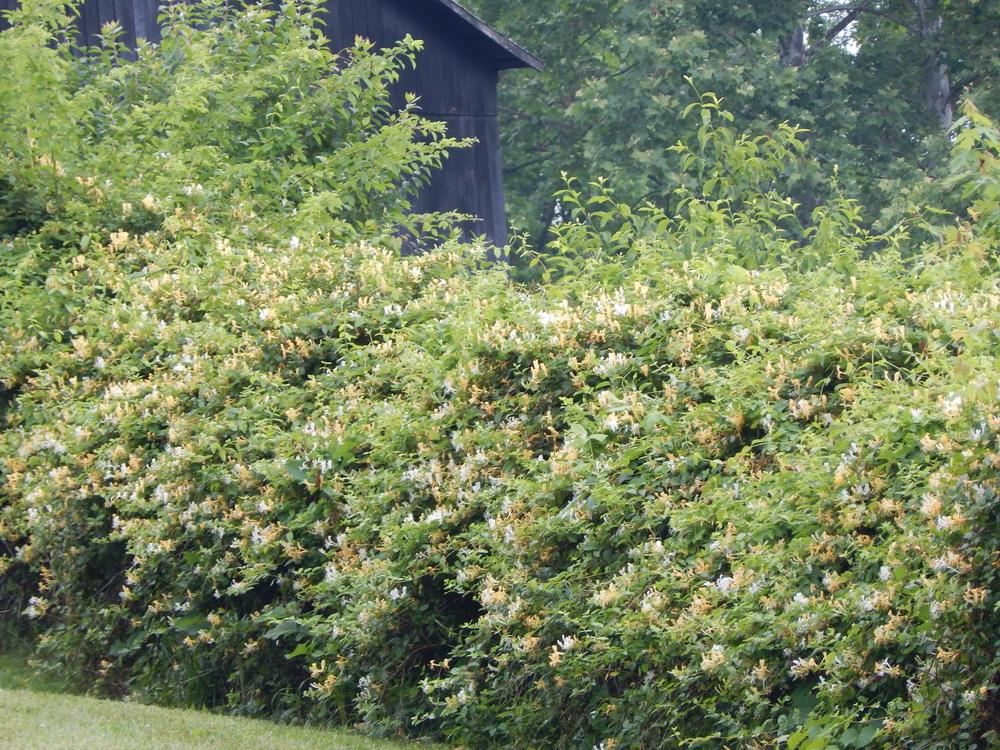 Photo of the entire plant of Japanese Honeysuckle (Lonicera japonica ' Halliana') posted by beenthere - Garden.org