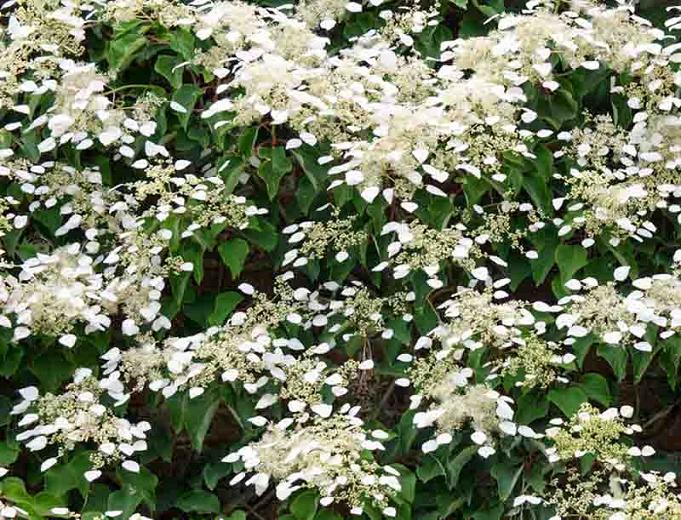 Hydrangea anomala subsp. petiolaris (Climbing Hydrangea)