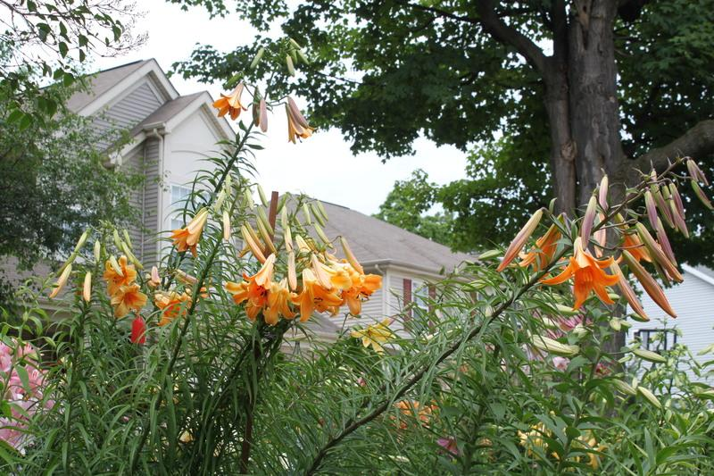 Photo of the entire plant of Lily (Lilium African Queen) posted by  sgardener - Garden.org