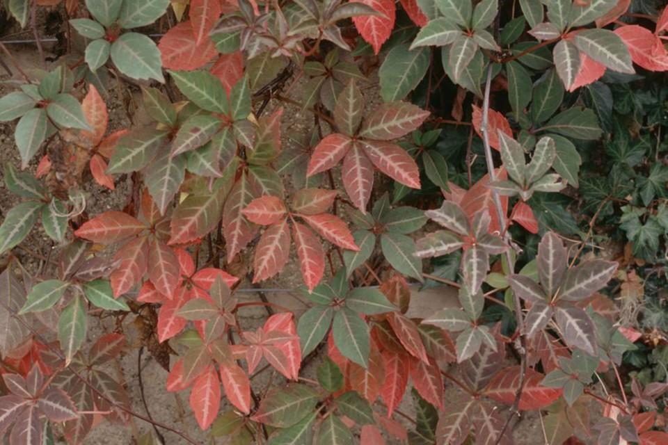 Parthenocissus henryana - BBC Gardeners' World Magazine
