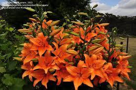 PlantFiles Pictures: Asiatic Lily 'Brunello' (Lilium) by macsmum