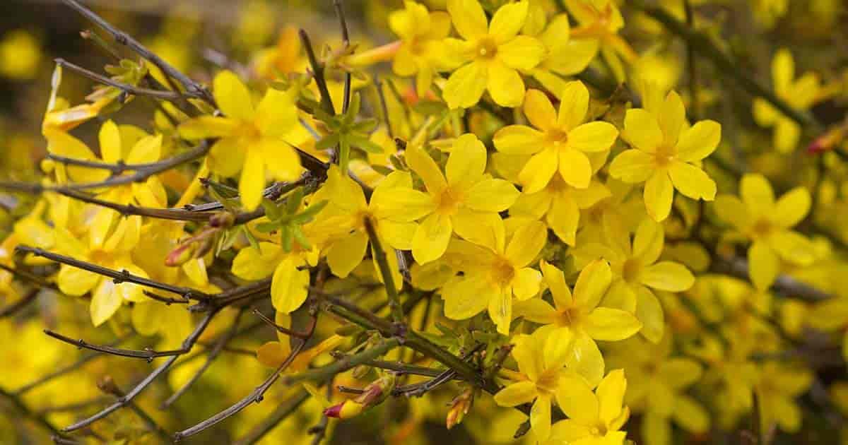 Winter Jasmine Care: How To Grow Jasminum Nudiflorum